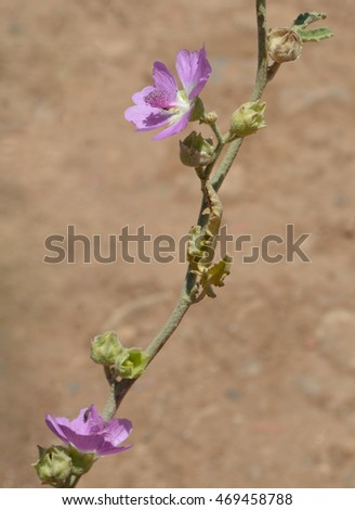 Wild Purple Malvaceae Flower Stem, Crete
