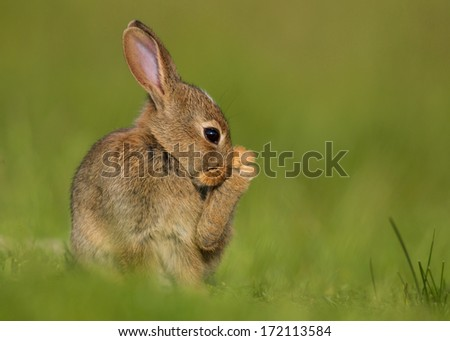 Wild rabbit with a foot  up cleaning - stock photo