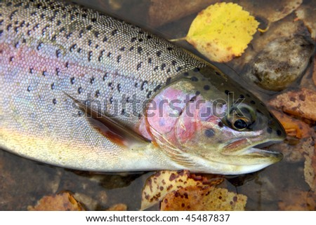 Wild rainbow trout just before it was released - stock photo