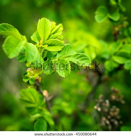 wild raspberry leaves - stock photo