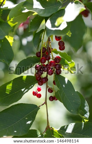 wild red berry on the nature - stock photo
