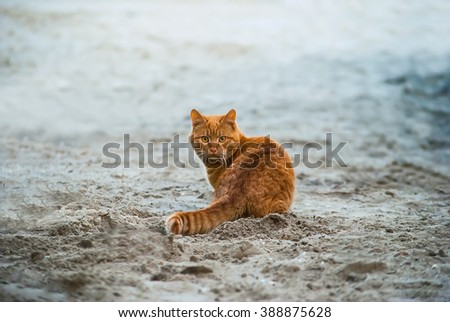 Wild red cat sits on the beach - stock photo