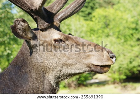 Wild red deer in profile against green foliage