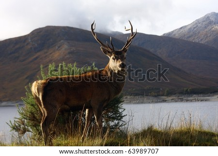 Wild Red Deer Stag in Lochaber. - stock photo