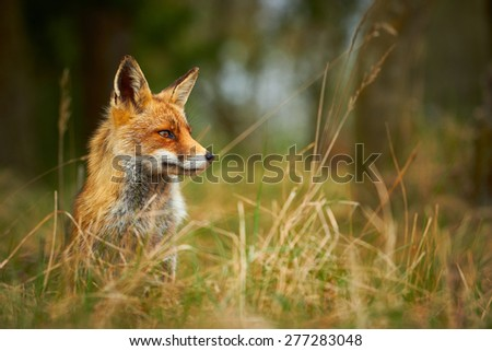 Wild Red Fox behind tall grass
