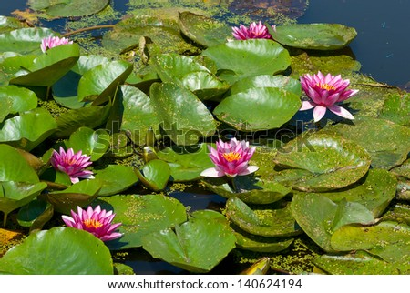 Wild red nymphaea in a natural pond