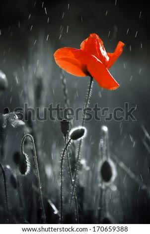Wild red poppy - stock photo