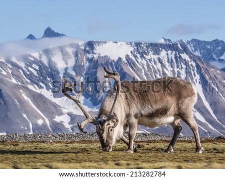 Wild reindeer  - Arctic, Spitsbergen, Svalbard - stock photo