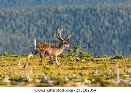 Wild reindeer male runs on mountain plateau in Urals, Pechora-Ilych State Biosphere reserve, Russia - stock photo