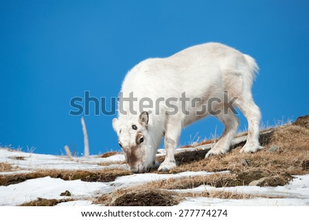 Wild reindeer, Spitsbergen, Svalbard, Norway - stock photo