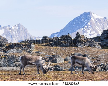 Wild reindeers at the front of the mountains - Arctic, Spitsbergen - stock photo