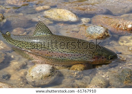 Wild Rocky Mountain rainbow trout