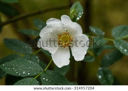 wild rose after rain  - stock photo