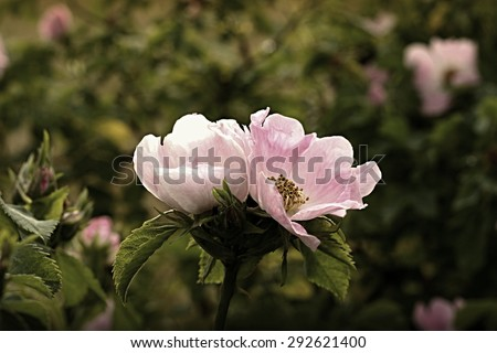 wild rose blooming in the garden - stock photo