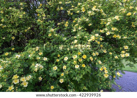 Wild rose bush yellow flower spring stock photo royalty free wild rose bush with yellow flower in spring time mightylinksfo