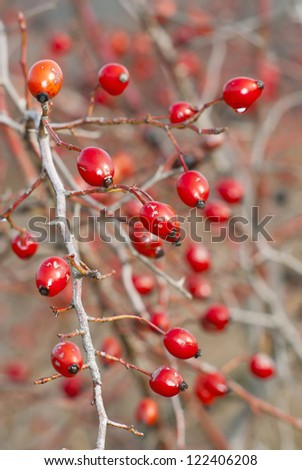 wild rose hips - stock photo