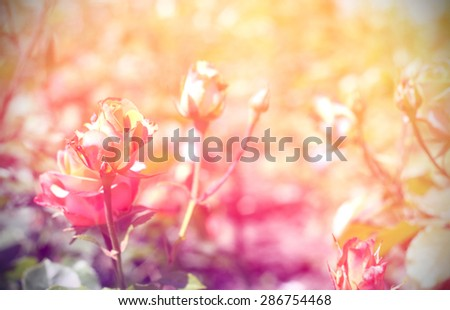 wild rose vintage photo background - stock photo