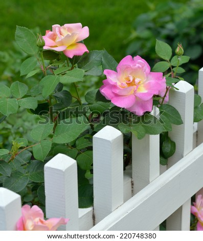 Wild Rose, White Fence - stock photo