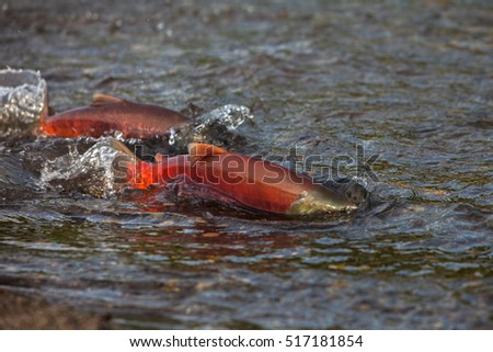 Wild salmon, russia, kamchatka, Kuril lake