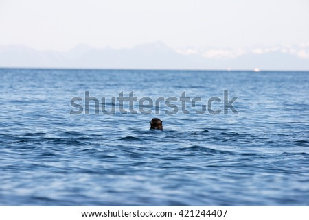 Wild sea otter eating clams while floating in the ocean