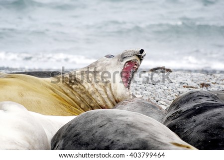 wild seal in antarctica - stock photo