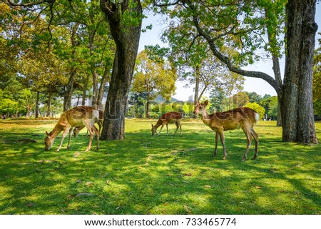 Wild Sika deers in Nara Park, Japan