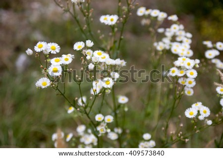 wild small white flowers on a meadow - stock photo