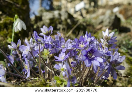 Wild snowdrops and hepaticas flowering in the forest - stock photo