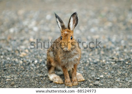Wild Snowshoe Hare on a roadway in the mountains