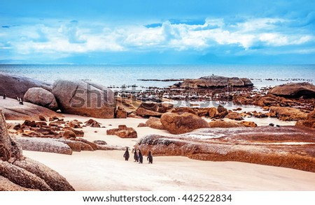 Wild South African penguins, colony of Black-footed Penguins walking on Boulders beach in Simons Town, safari travel, South Africa - stock photo
