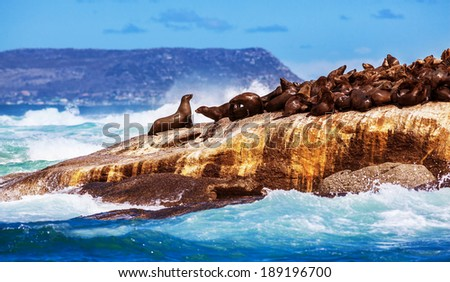 Wild South African seals, many cute sea lions lying down on the rock and bask in the sun, beautiful wild animals, exotic tourism concept - stock photo