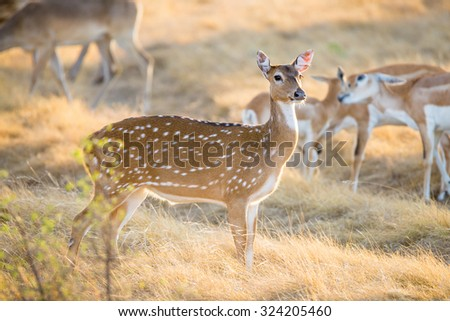 Wild South Texas Axis, Chital, or spotted Deer Doe.