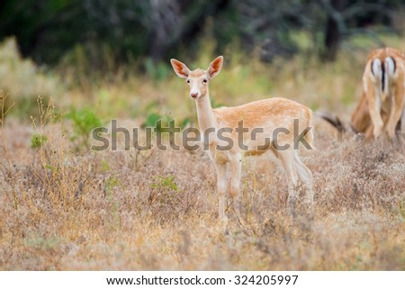 Wild South Texas spotted fallow deer fawn