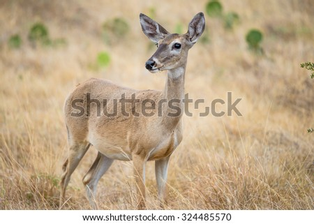Wild South Texas White tailed deer doe