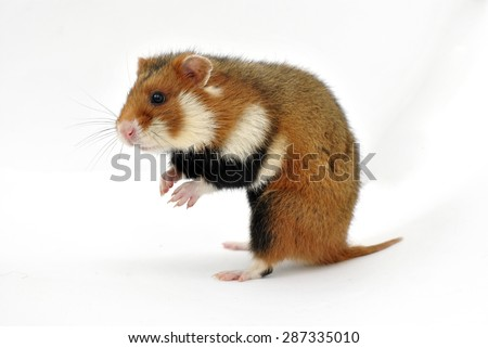 Wild spotted an aggressive hamster standing on hind legs and isolated on white background