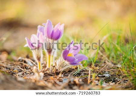 Wild spring flowers pulsatilla patens flowering stock photo 100 wild spring flowers pulsatilla patens flowering plant in family ranunculaceae native to europe mightylinksfo