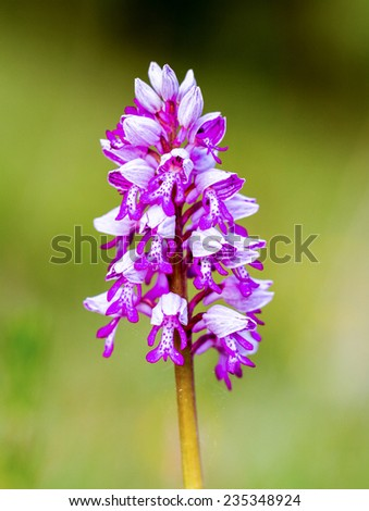 Wild Spring Meadow Orchid - stock photo