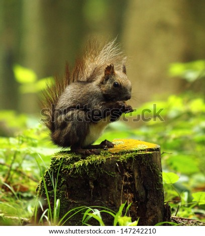 Wild squirrel eating on the stump    - stock photo