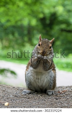 Wild squirrel in natural nature background, eating squirrel looking straight to the camera, popular wild animal in Canada, canadian squirrel - stock photo