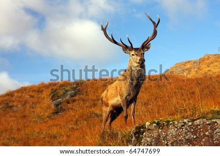 Wild Stag in the Scottish Highlands. - stock photo