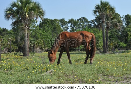Wild stallion grazing in a field on Cumberland Island, Georgia