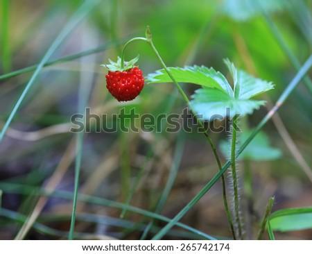 Wild strawberries - stock photo
