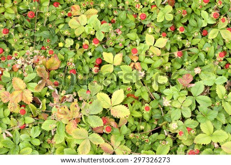 Wild strawberries in a garden.