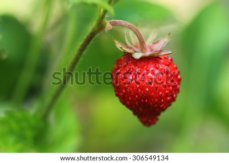 Wild strawberry. Closeup - stock photo