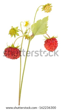 Wild strawberry isolated on white background - stock photo