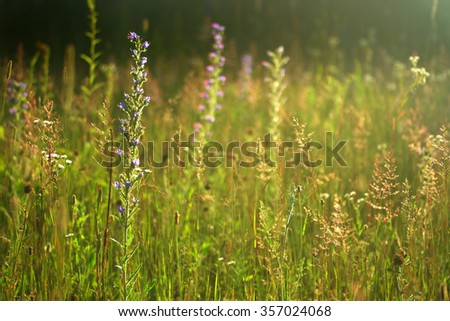wild summer meadow with flowers and grasses, golden sunlight - stock photo