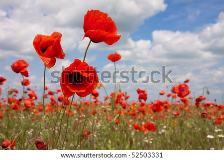 wild summer red poppies, under blue sky