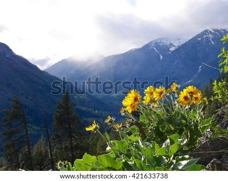 Wild Sun Flowers Blooming in Mountains.  Fourth of July trail near Leavenworth, Washington State, USA.  - stock photo