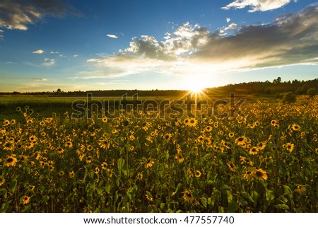Wild Sunflower Field at Sunset