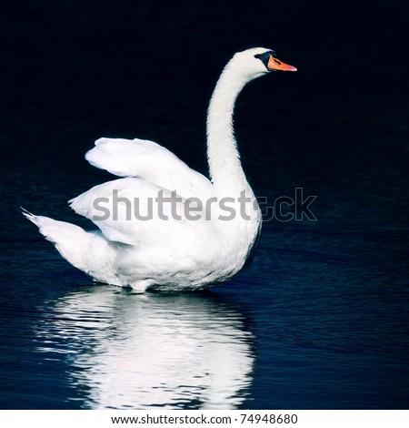 Wild swan. Night mode. - stock photo